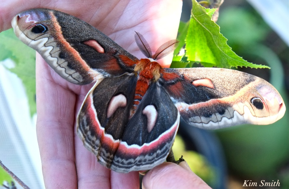 cecropia-moth-male-copyright-kim-smith