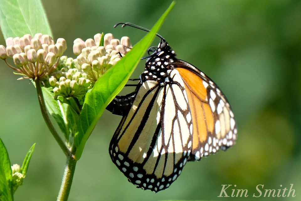 female-monarch-depositing-eggs-1-copyright-kim-smith
