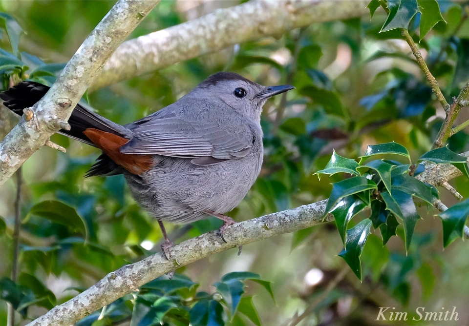 gray-catbird-holly-tree-copyright-kim-smith