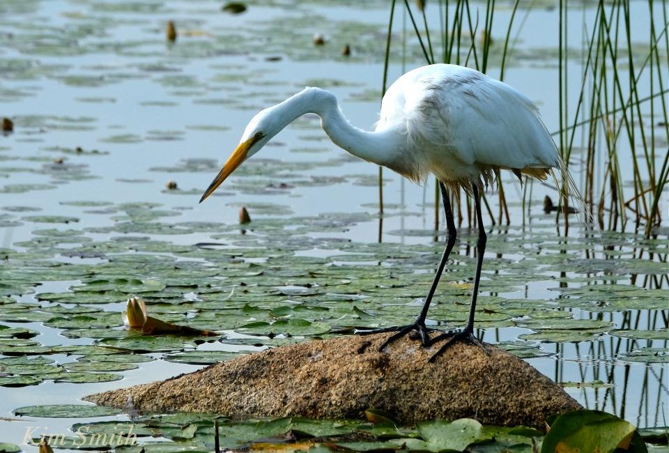 great-egret-ardea-alba-copyright-kim-smith1