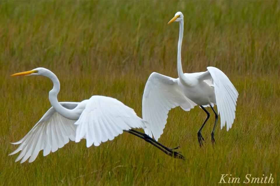 great-egret-battle-ardea-alba-3-copyright-kim-smith-copy