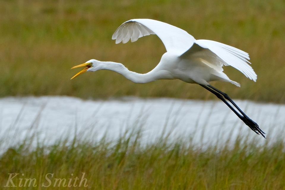 great-egret-battle-ardea-alba-5-copyright-kim-smith-copy