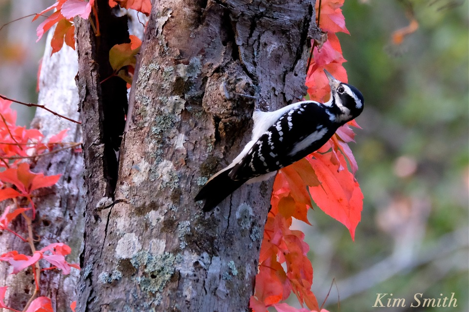 hairy-woodpecker-cape-ann-gloucester-massachusetts-copyright-kim-smith