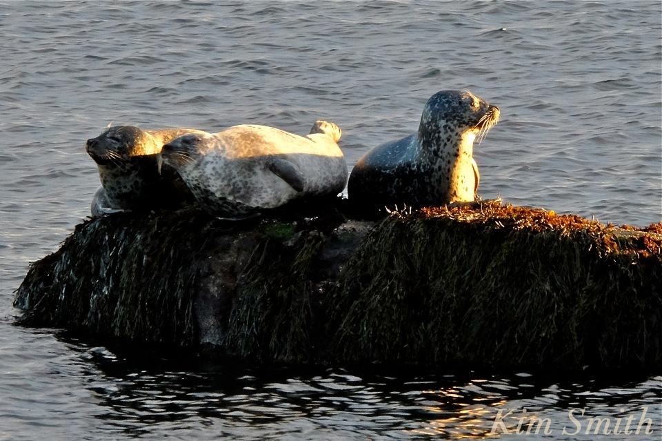 harbor-seals-brace-cove-gloucester-ma-4-copyright-kim-smith