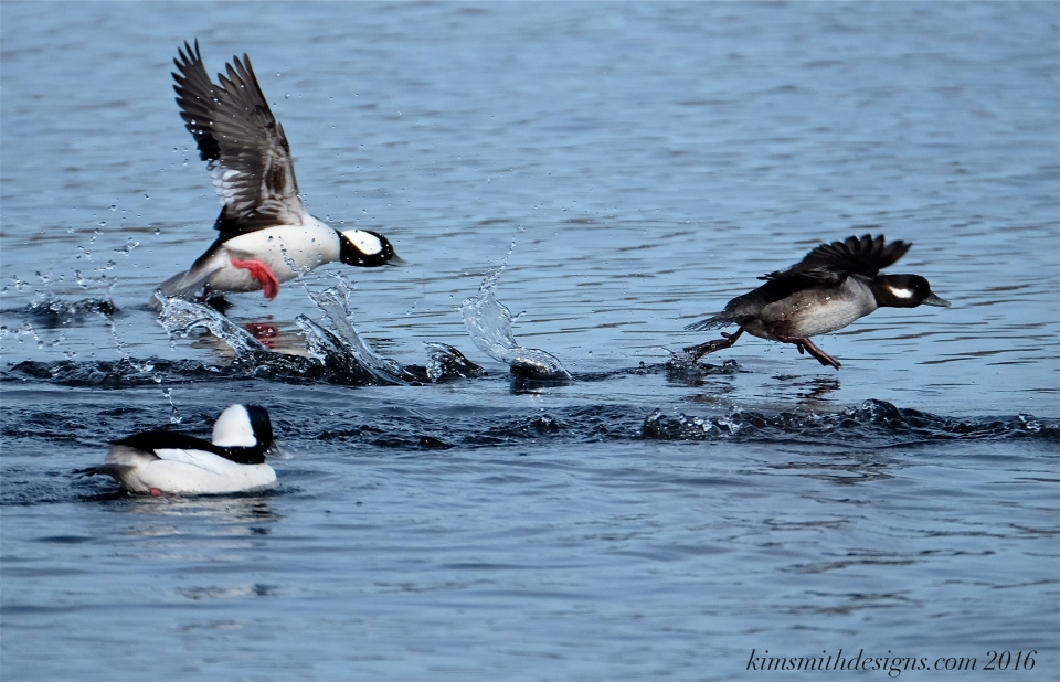 male-female-bufflehead-courtship-kimsmithdesigns-com-2016
