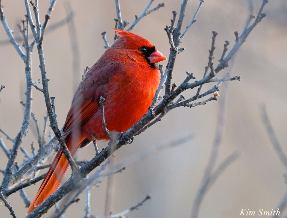 northern-cardinal-male-kim-smith