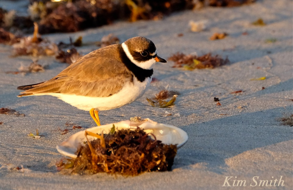 semipalmated-plover-copyright-kim-smith