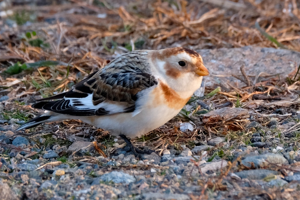 snow-bunting-gloucester-massachusetts-copyright-kim-smith