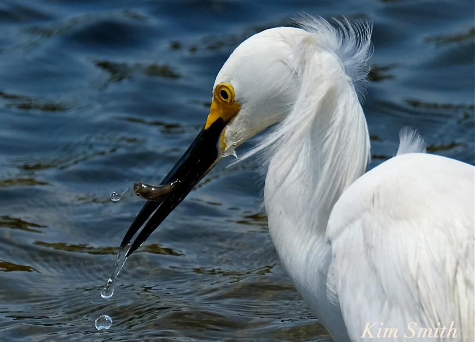 snowy-egret-egretta-thula-copyright-kim-smith