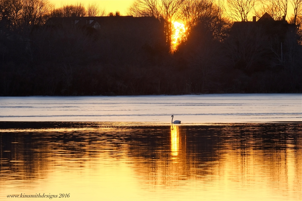 swan-niles-pond-www-kimsmithdesigns-com