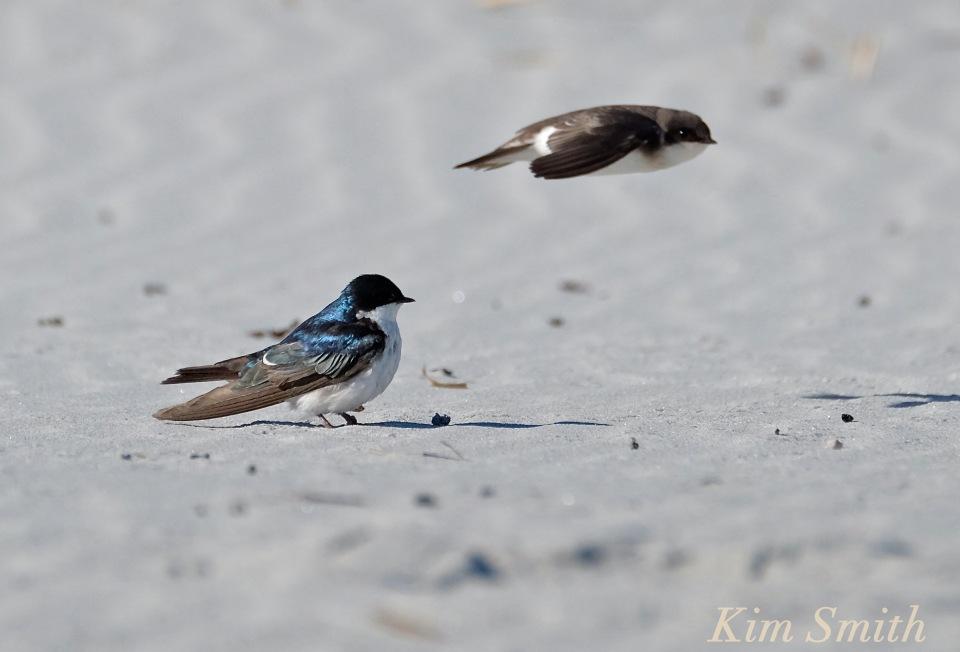 tree-swallows-male-female-copyright-kim-smith