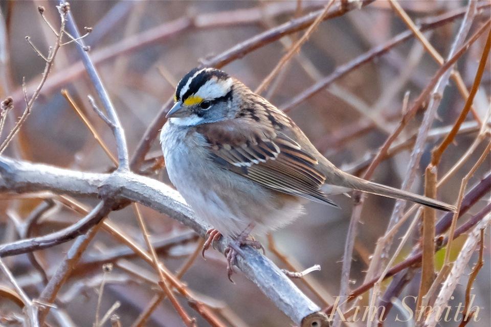 white-throated-sparrow-copyright-kim-smith
