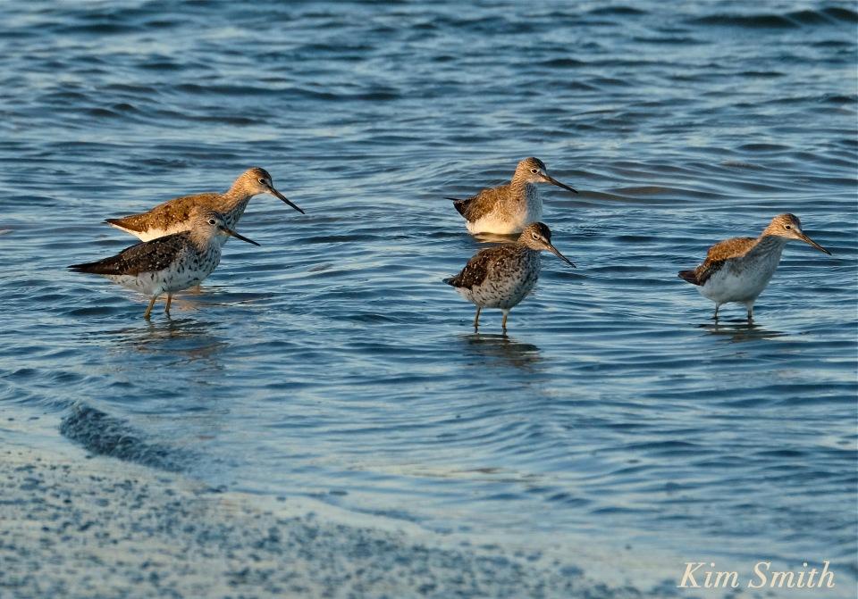yellow-legs-bird-massachusetts-copyright-kim-smith