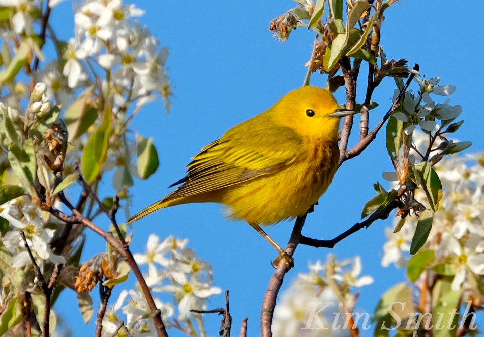 yellow-warbler-shadblow-amelanchier-copyright-kim-smith