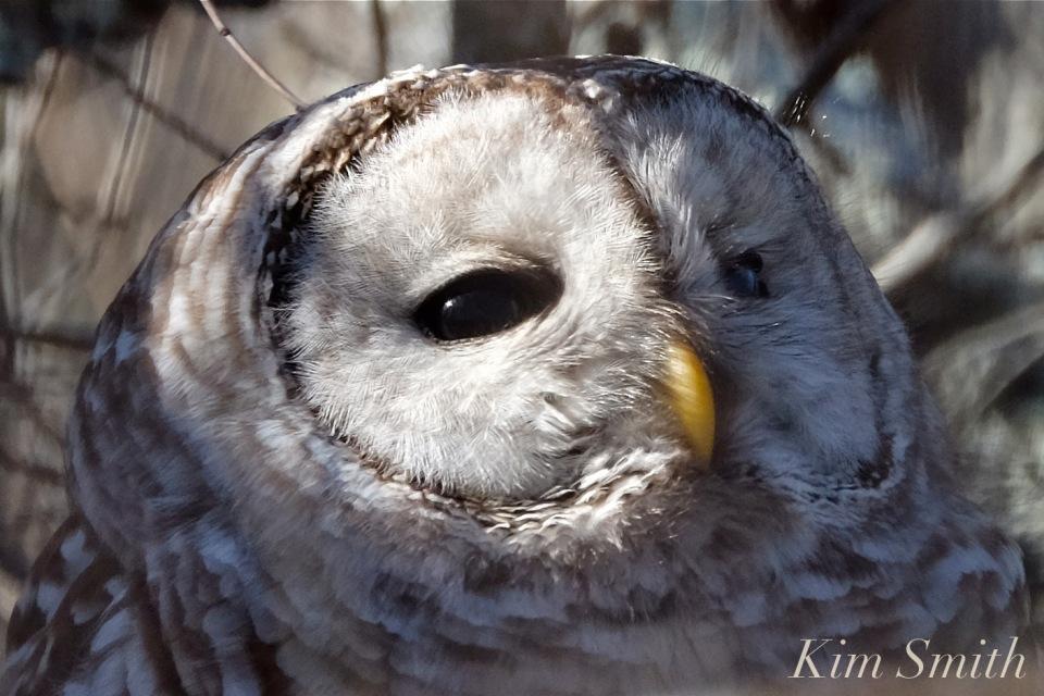 barred-owl-eyes-2-strix-varia-copyright-kim-smith