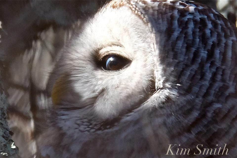barred-owl-eyes-3-strix-varia-copyright-kim-smith