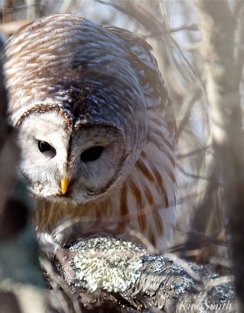 barred-owl-hunting-strix-varia-copyright-kim-smith
