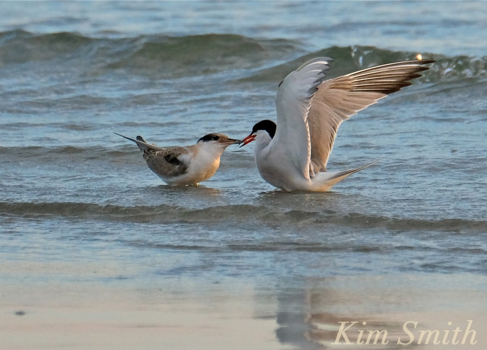 common-tern-fledgling-feeding-7-copyright-kim-smith