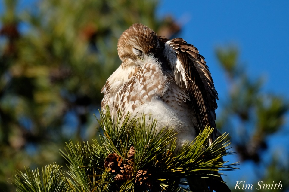 red-tailed-hawk-preening-copyright-kim-smith