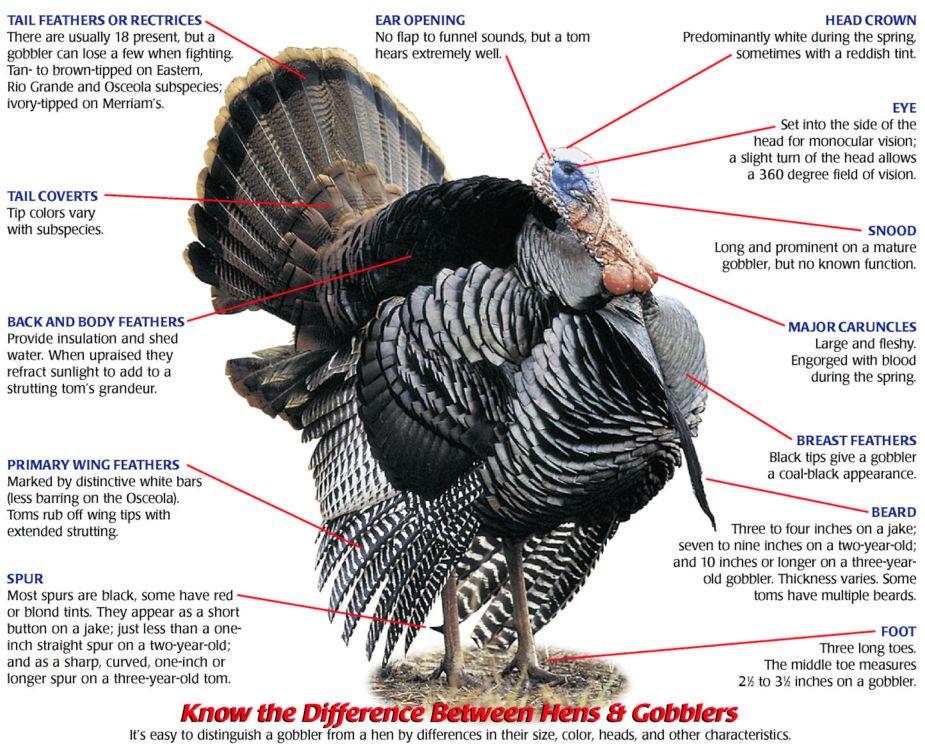 Diagram Of Turkey Gobbler - DIY Enthusiasts Wiring Diagrams •