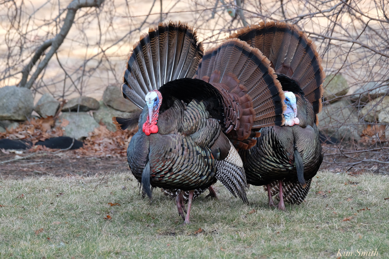 Wild Turkey Anatomy Diagram - Data Wiring Diagrams •