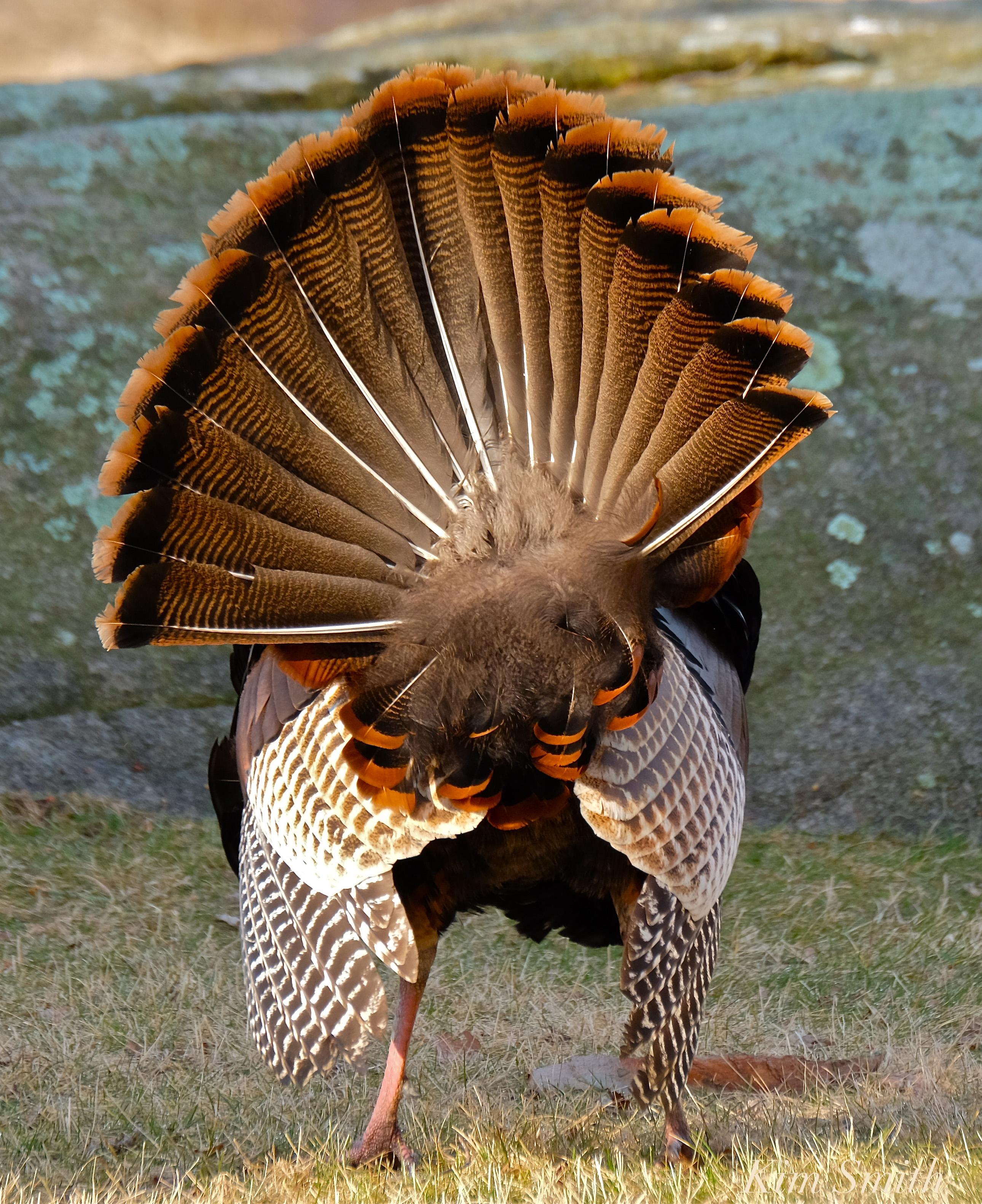 Wild Turkey anatomy   Kim Smith Designs