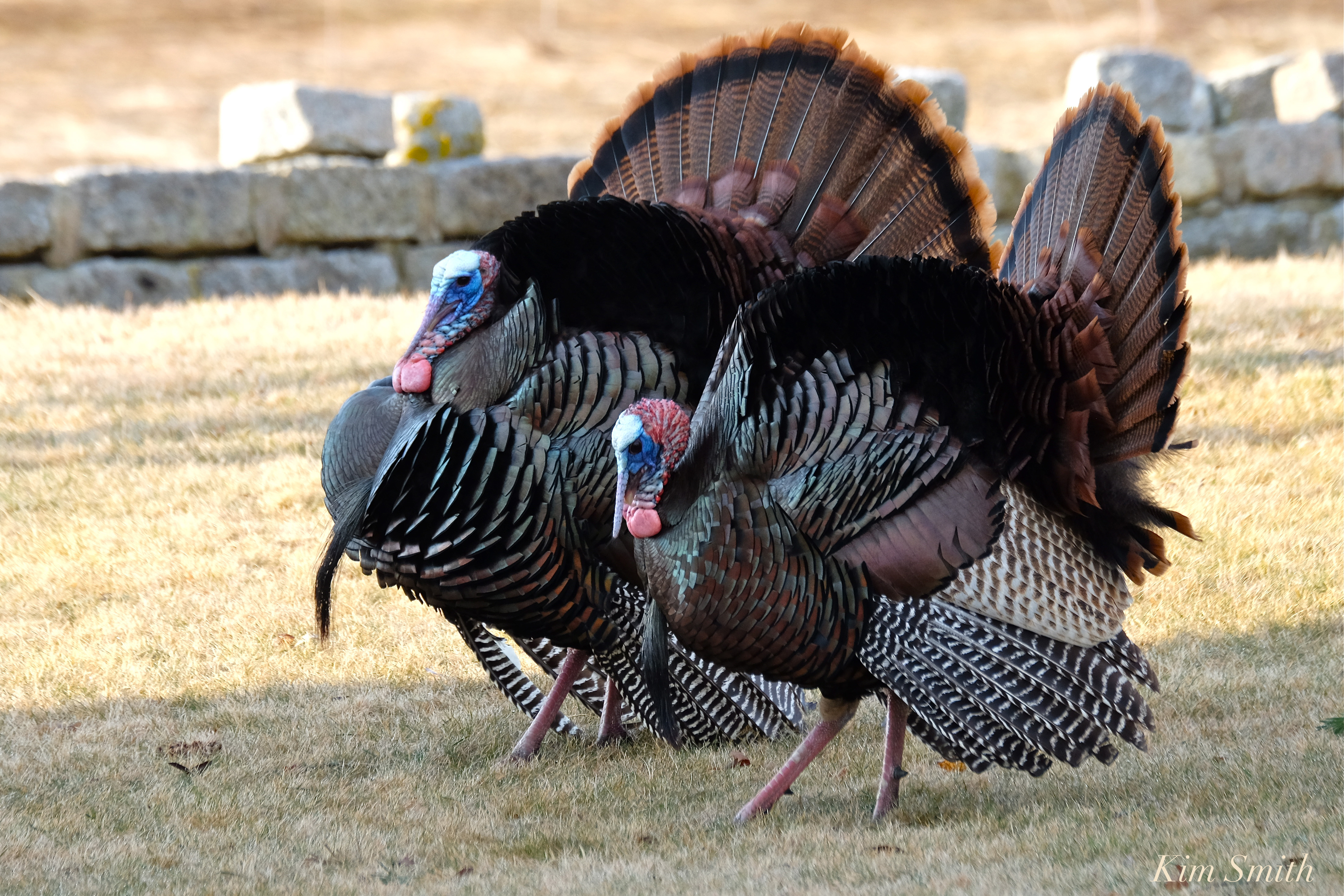 how to tell the difference between male female turkeys ...
