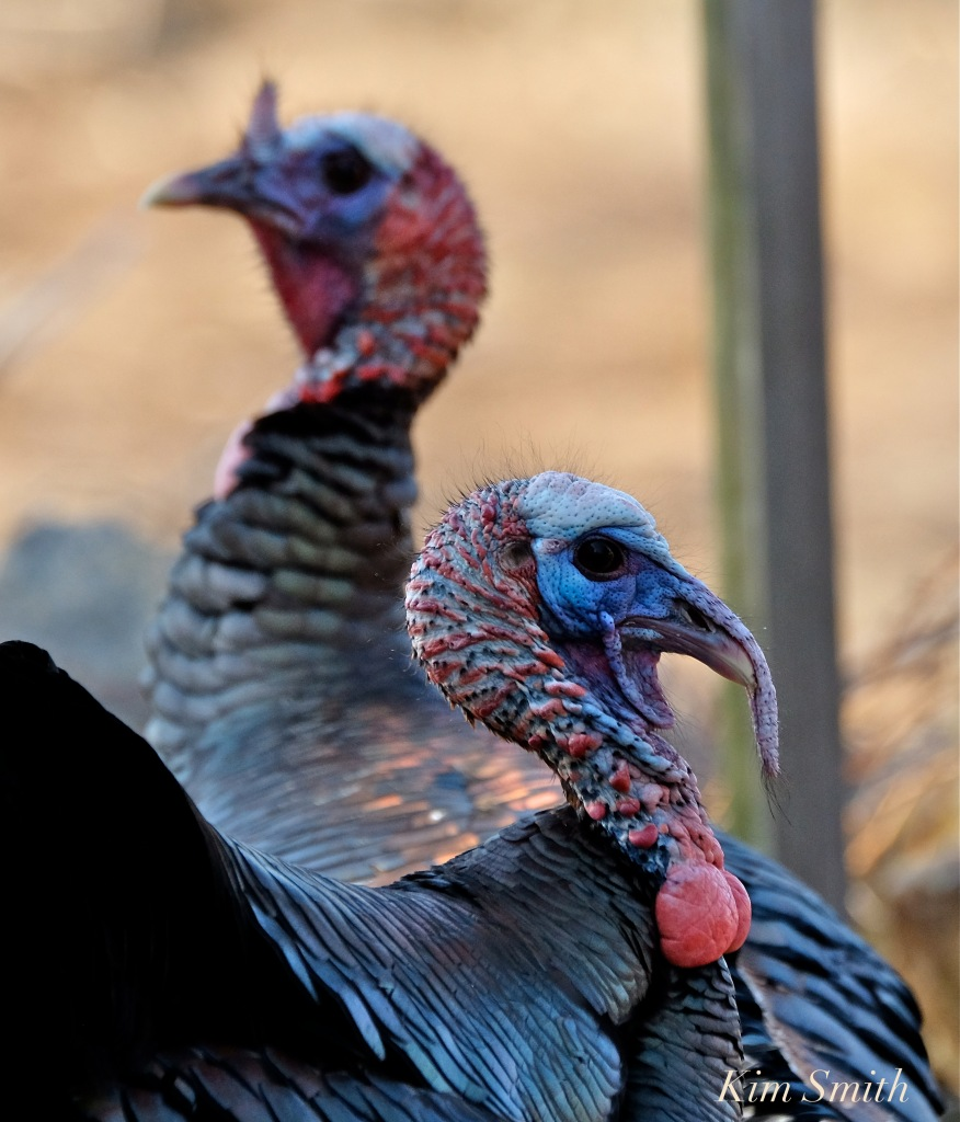 eastern-wild-turkey-males-snood-extended-retracted-gloucester-ma-copyright-kim-smith