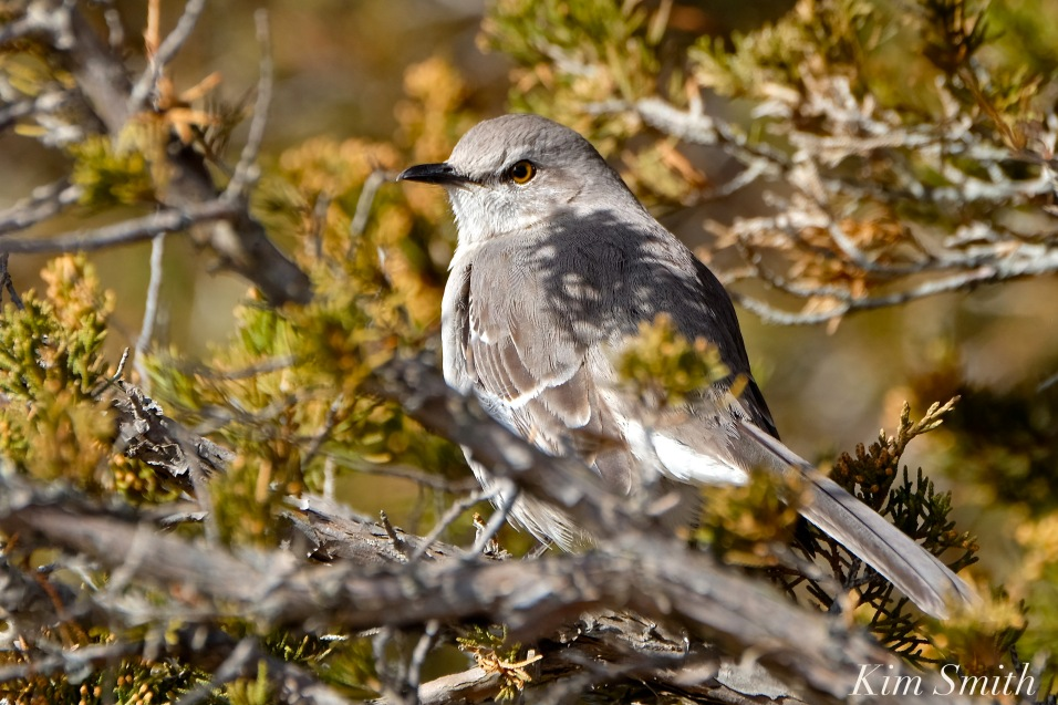 Northern Mockingbird copyright Kim Smith