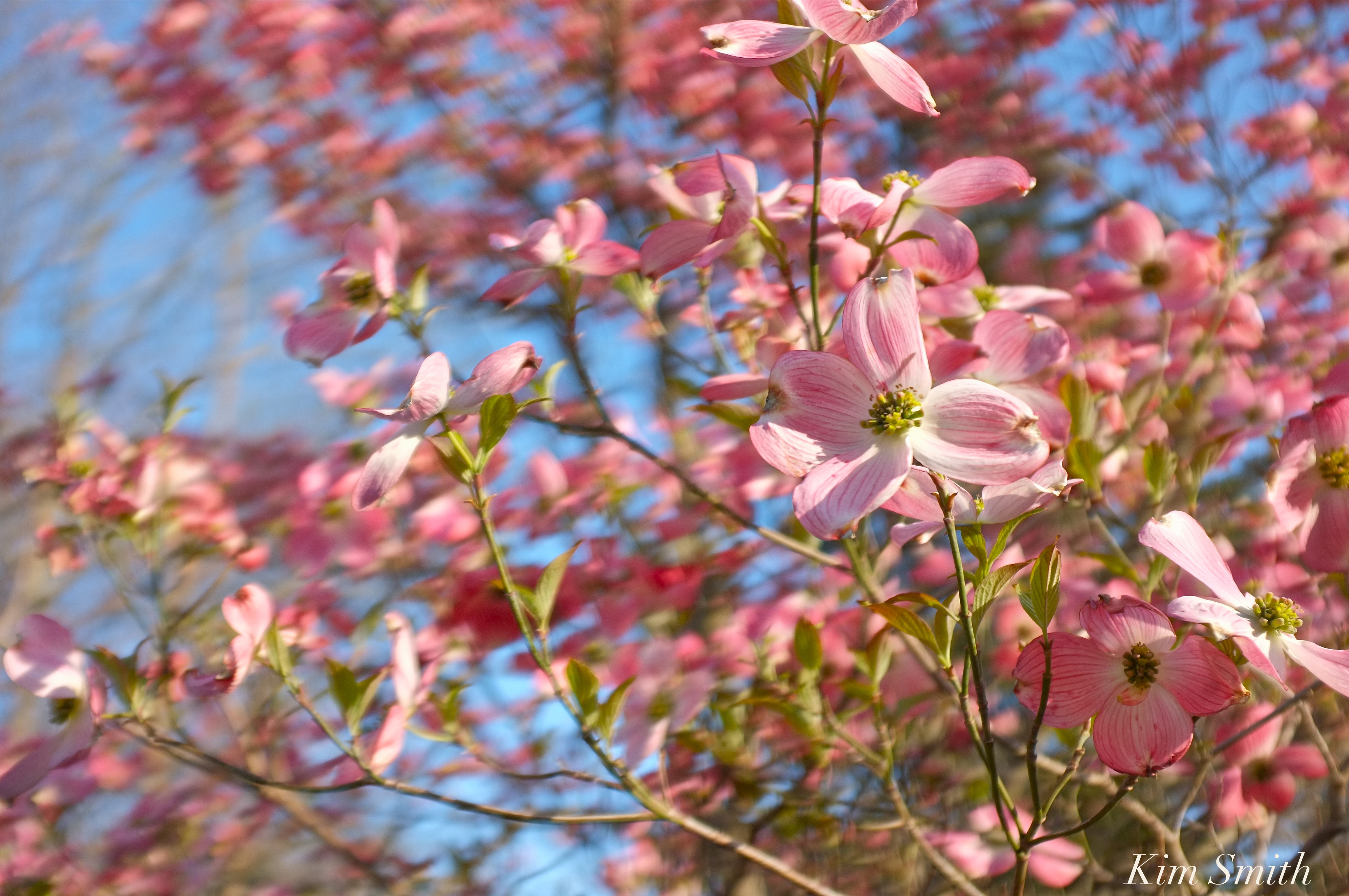Pink Flowering Dogwood Cornus Florida Rubra Copyright Kim Smith