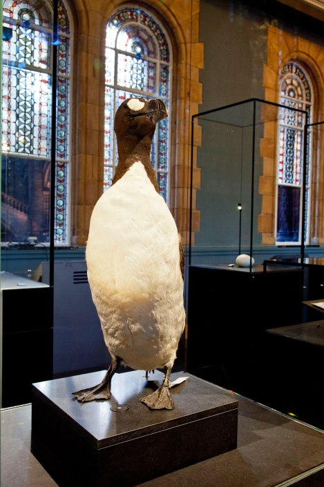 Great-Auk-Pictures