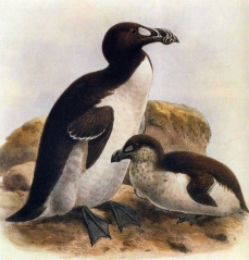 Great-Auk-Size