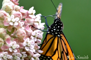 Patti Papows Gloucester Garden Monarch Butterfly Common Milkweed -3 copyright Kim Smith
