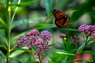 Monarch Butterfly flitting Marsh Milkweed copyright Kim Smith