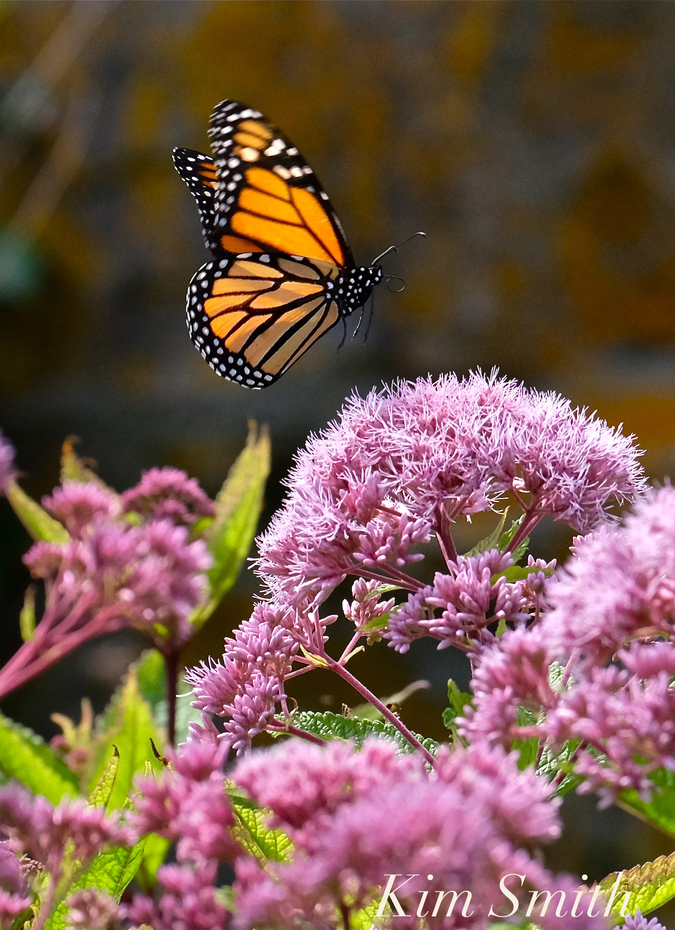 Monarchs in mexico kim smith designs page 2 a post shared by kim smith kimsmithdesigns on aug 8 2017 at 335pm pdt biocorpaavc Gallery