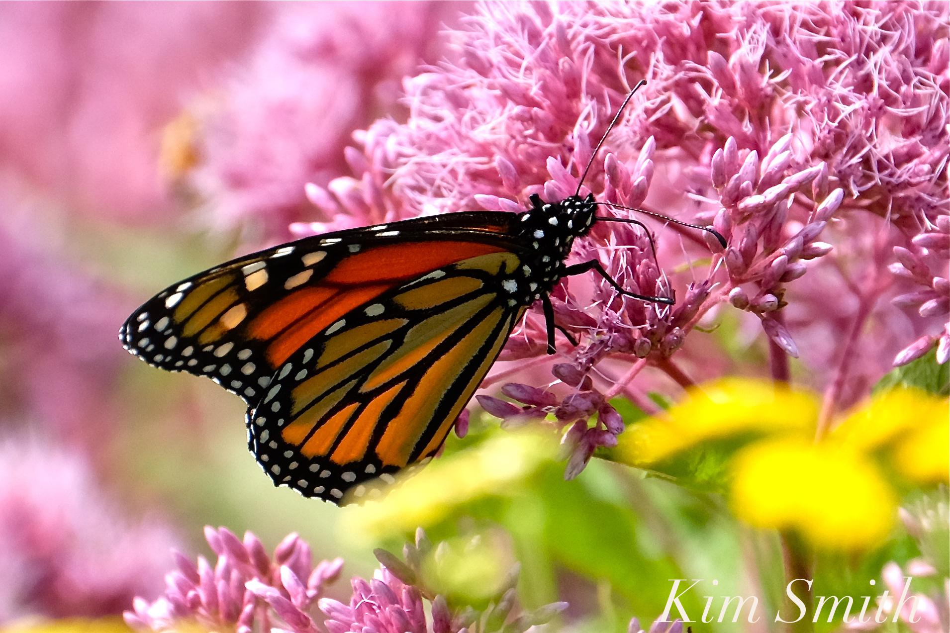 Monarchs in mexico kim smith designs page 2 monarch film fundraising screening party biocorpaavc Gallery
