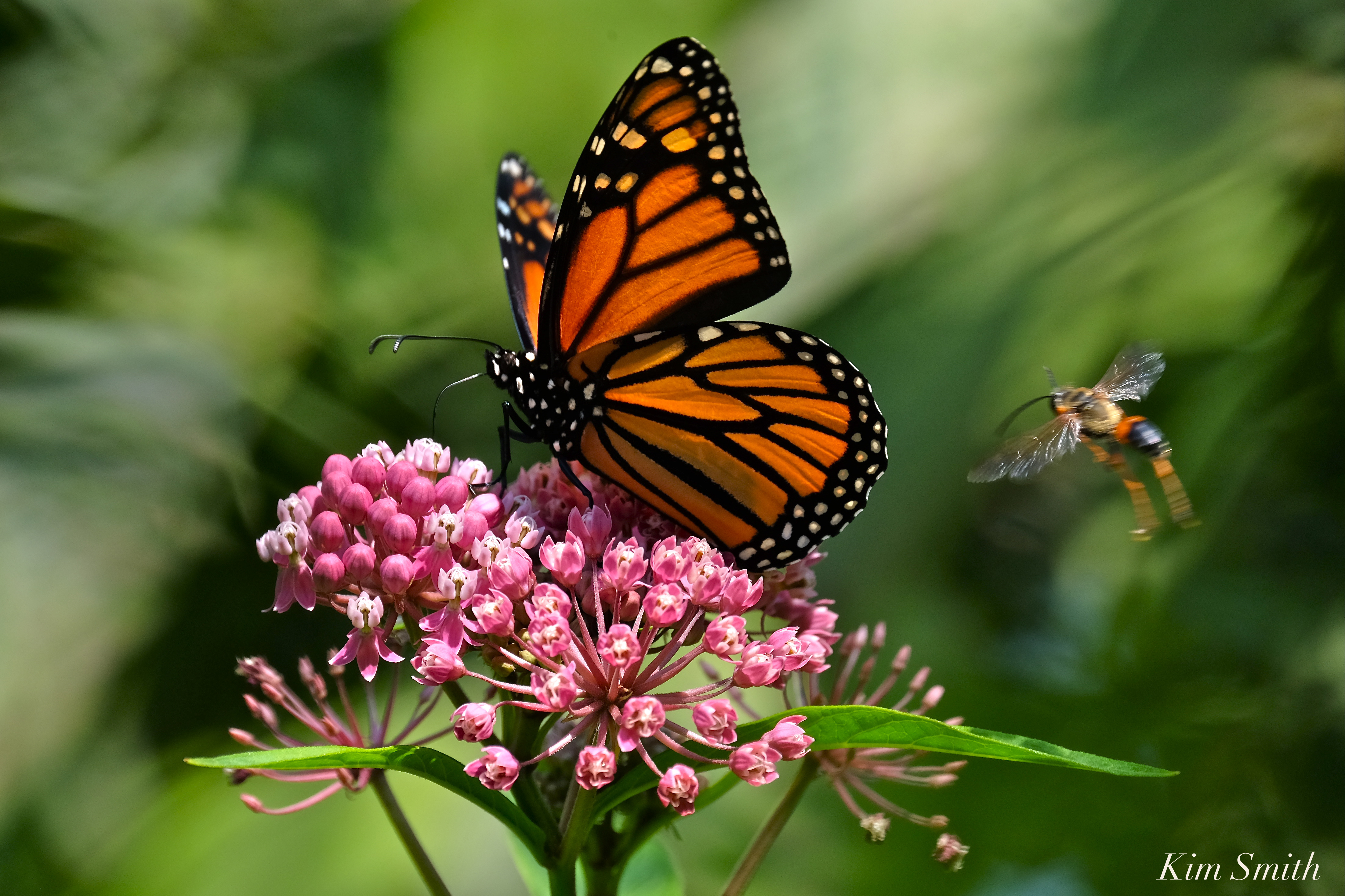 Monarchs in mexico kim smith designs page 2 female monarch butterfly and marsh milkweed biocorpaavc Gallery