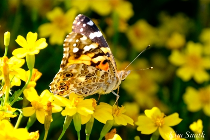 Painted Lady Butterfly Mexican Marigolds Tagete -2 copyright Kim Smith