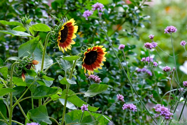 The Mary Prentiss Inn Cambridge Urban Pollinator Garden sunflowers copyright Kim Smith