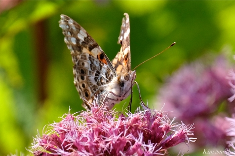 Painted Lady Joe-pye Wildflower -40 copyright Kim Smith