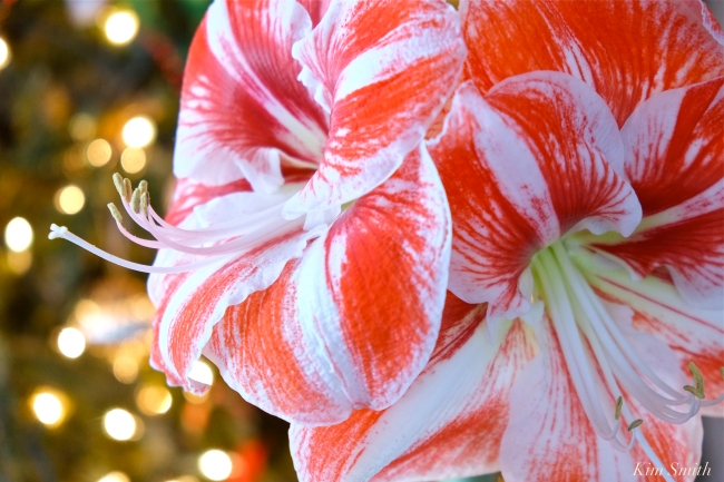 Amaryllis Clown -3 copyright Kim Smith