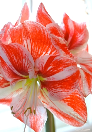 Amaryllis Clown -4 copyright Kim Smith
