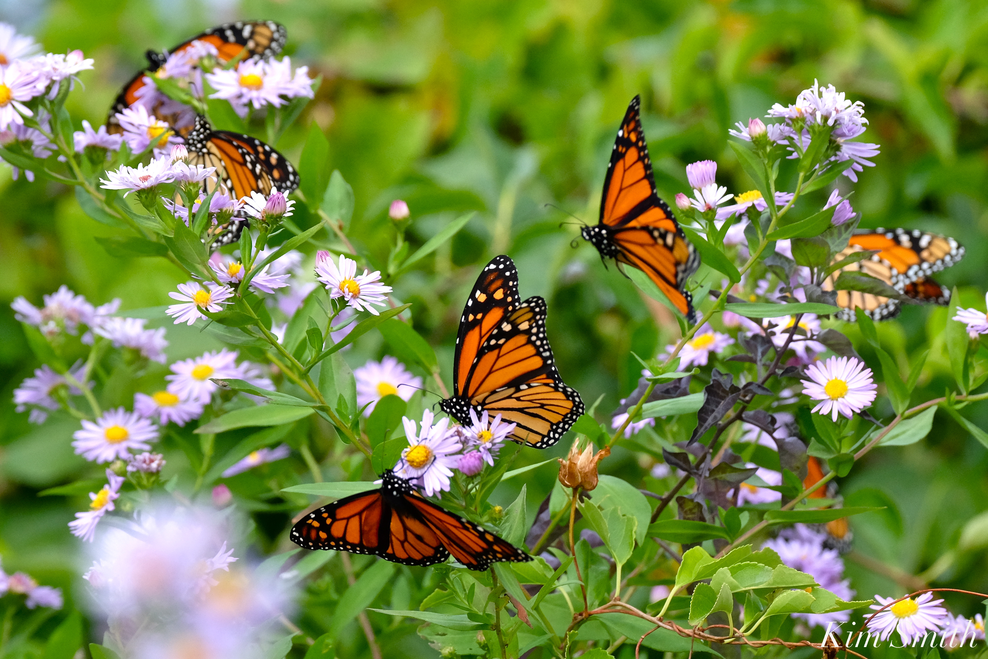 $34,900.00 RAISED FOR BEAUTY ON THE WING DOCUMENTARY! AND MONARCH BUTTERFLY  MIGRATION UPDATE