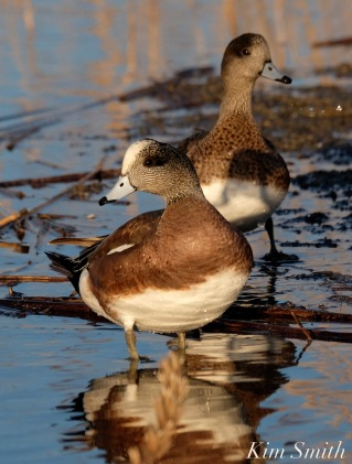 American Wigeon male female Rockport MA copyright Kim Smith