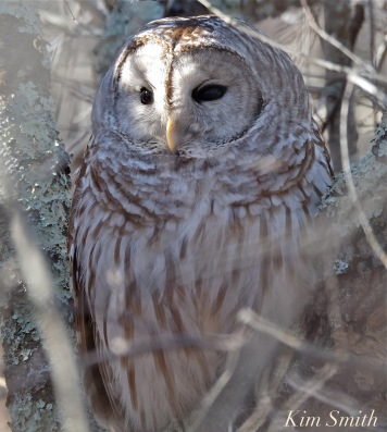 barred-owl-strix-varia-copyright-kim-smith