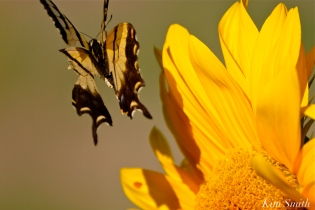 cedar-rock-gardens-sunflowers-tiger-swallowtail-gloucester-ma-copyright-kim-smith