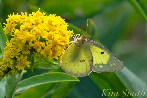 Clouded Sulphur Butterfly Cape Ann copyright Kim Smith