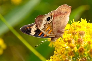 common-buckeye-butterfly-seaside-goldenrod-gloucester-ma-copyright-kim-smith