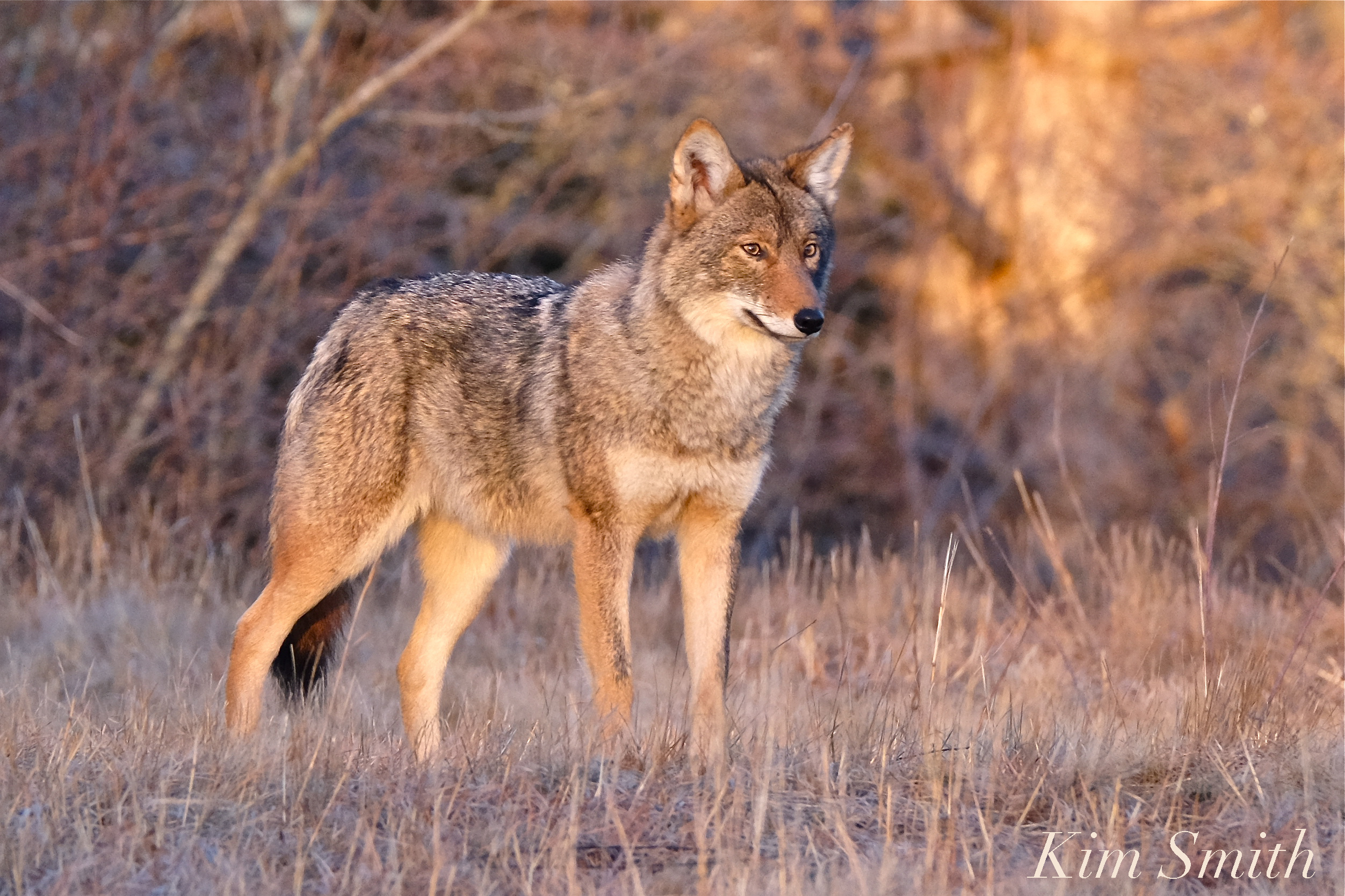 close encounter of the coyote kind