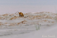 Fox foraging Gloucester MA copyright Kim Smith